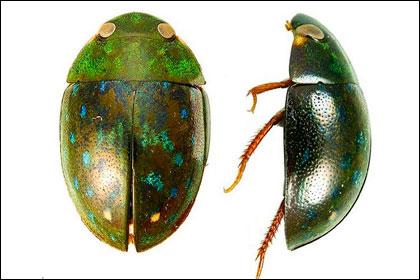 Новый вид жуков из Суринама