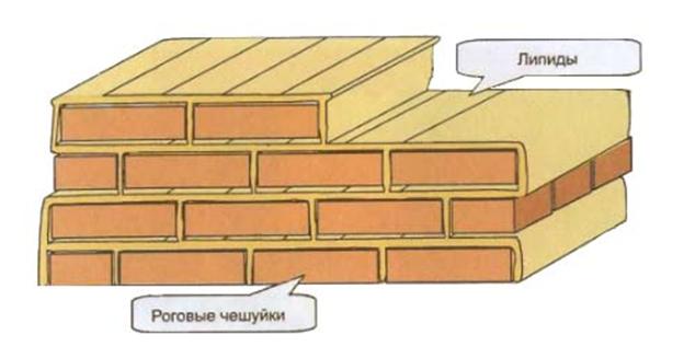 кирпичная стена эпидермального барьера