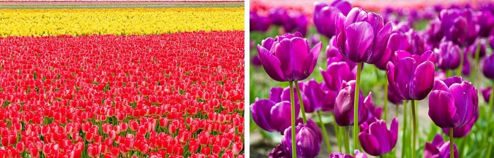 Тюльпановые поля в долине Скагит, США