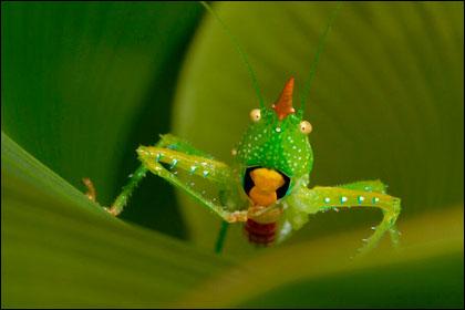 Новый вид кузнечика в Суринаме