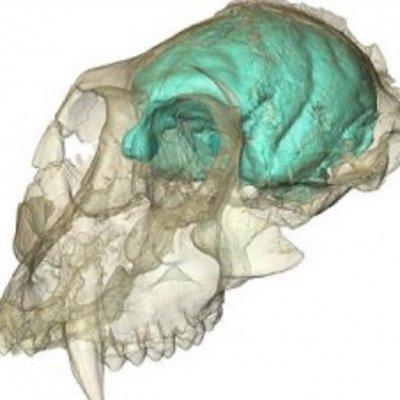 мозг макаки