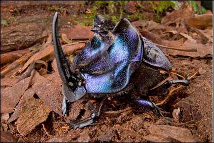 Навозный жук из Суринама
