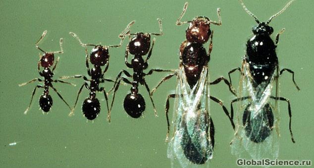 муравьи разновидность