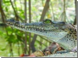 """Крокодилы """"выключают"""" легкие чтобы улучшить пищеварение"""