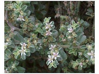 Экзотическое растение захватывает дюны Южной Испании
