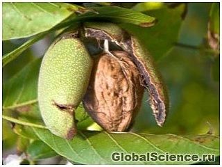 Грецкие орехи и ореховое масло улучшают реакцию организма на стресс
