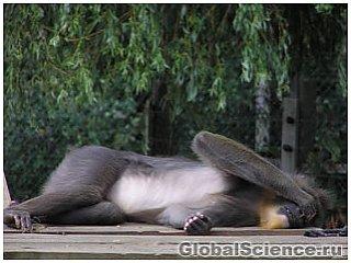 Секрет жестов обезьян