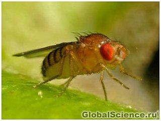 Плодовые мушки способны обнаруживать тяжелый водород