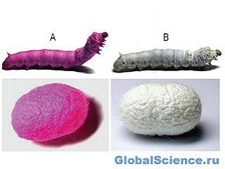 Метод выращивания шелкопряда для производства цветного шелка