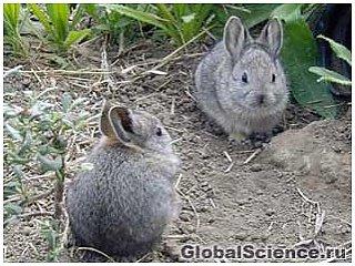 Кролики-пигмеи скоро останутся только в нашем воображении