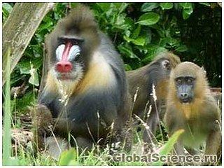 Кумедне видовище: мавпа робить собі педикюр