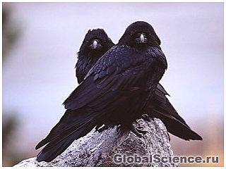 Вороны используют зеркала для поиска пищи