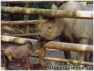 Черный носорог Западной Африки объявлен вымершим видом