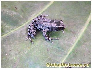 Пропавший 62 года назад вид лягушек вновь был обнаружен