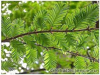 Российские ученые расшифровали ДНК древнейшего в мире дерева