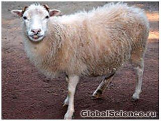 Китайские ученые клонировали овцу с геном круглого червя
