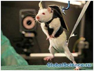 Стимуляция спинного мозга парализованным крысам вернула подвижность