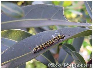 От страха гусеницы  едят меньше и растут быстрее