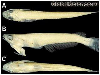 Во Вьетнаме обнаружена рыба с гениталиями на голове