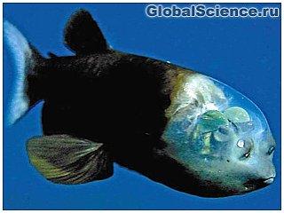 Причудливая рыбка обитает на дне Тихого океана