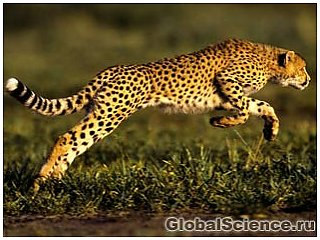 Скорость гепардов связана с особенностями их анатомии