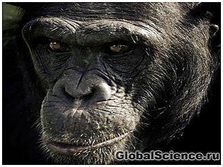 Шимпанзе с человеческим выражением лица