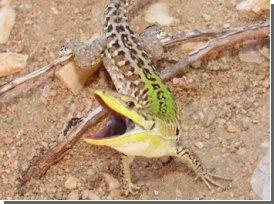 Ящірки стрімко еволюціонують в нових умовах
