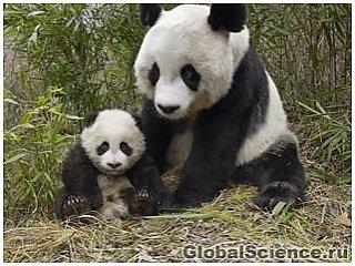 В кишечнике панд обнаружены бактерии, превращающие растения в биотопливо