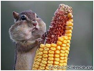 Кукуруза с ГМО оказалась экологичнее и безопаснее обычной