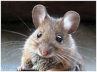 Ученые пояснили, почему человек не схож с мышью