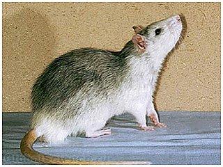 Крысы переживают по поводу неверно принятых решений