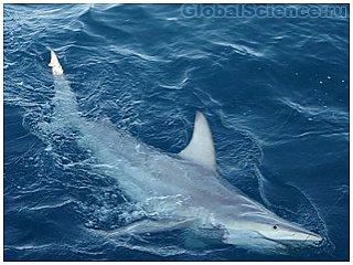 По мнению ученых, акулы с каждым годом всё агрессивнее