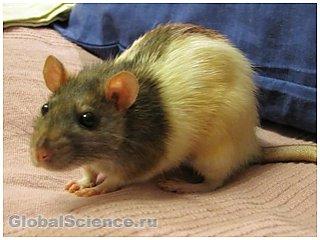 Тестостерон способствует раку простаты у крыс