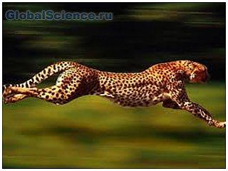 Гепард самый быстрый зверь. Видео фото