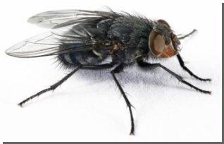 Ученые нашли в голове у мухи биологические термодатчики