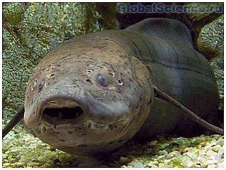 В Африканском заливе обнаружена необычная рыба