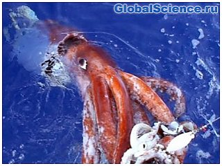 Ученые: В глубинах океана могут жить кальмары размером с автобус