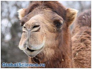 Ученые нашли в теле верблюдов лекарство от рака