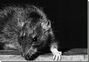 Городские крысы предпочитают постоянное место жительства