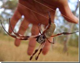 Пауки открывают секреты биологического суперклея