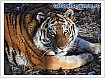 Discovery Channel и WWF спасают амурских тигров