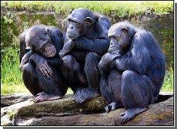 Шимпанзе, как и люди, имеют культурные различия
