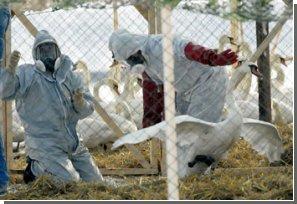 """Как человек может заразиться """"птичьим гриппом""""?"""