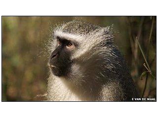 Самки обезьян - лучшие учителя