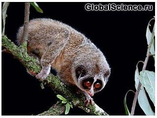 Впервые сфотографирован примат, считавшийся вымершем