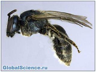 В Торонто обнаружен новый вид пчел