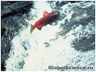 Рыба возвращается в океан в рекордных количествах