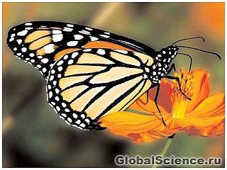 Ученые: бабочки-монархи используют лекарственные растения для лечения потомства
