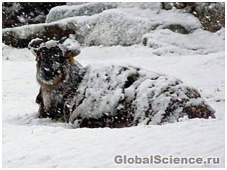 Поразительное выживание овец Соэй на Шотландских Островах