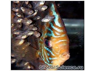 Уникальные родительские способности тропических рыб